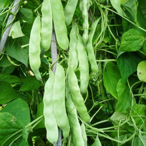Oil Bean Seed 15 Seeds Phaseolus Cyperus Green Vegetables Garden Seeds C119