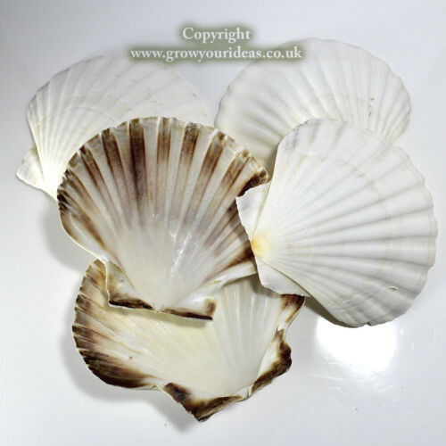 6 x Large Atlantic Scallop seashells.1315 cm.for crafts & culinary use