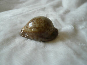 Coquillage-de-collection-Cypraea-55mm-317