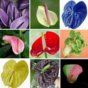 Seltene-schoene-Mischung-100-teile-beutel-Anthurium-Andraeanu-Samen-Blumen-Z2Q1