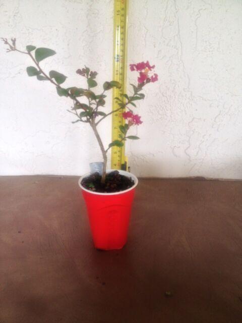 Crape Myrtle Tuscarora - Live Plant