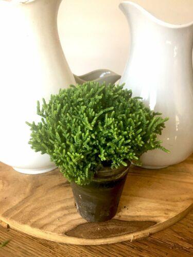 Princess Pine Plant