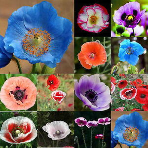100 persian blue poppy papaver somniferum flower seeds easy to grow image is loading 100 persian blue poppy papaver somniferum flower seeds mightylinksfo