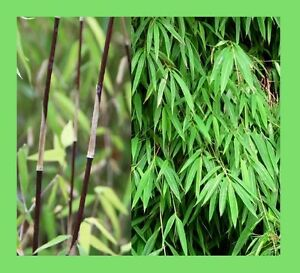 Fargesia-gaolinensis-RECENTLY-DISCOVERED-bamboo-species-10-Viable-seeds-RARE