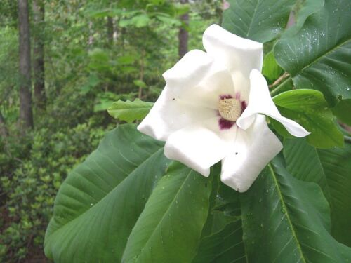Magnolia ashei or Ashe/'s Magnolia 10 seeds