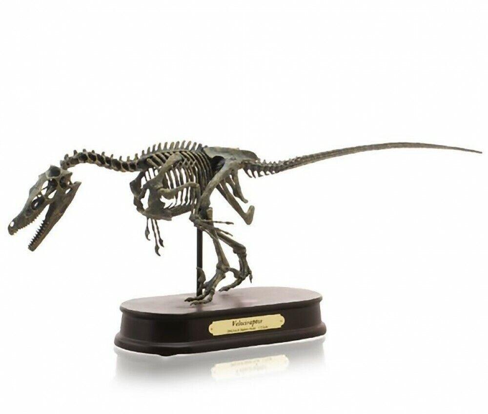 selección larga Velociraptor Escala 1 3 24  60cm Modelo De De De Polystone esqueleto Jurassic Park Nuevo En Caja  Todo en alta calidad y bajo precio.