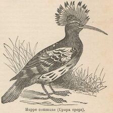 C8444 Upupa epops - Stampa antica - 1892 Engraving
