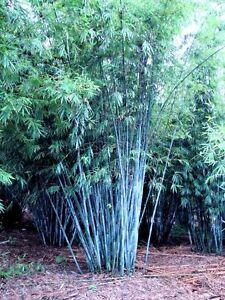 Bambus Blau Sichtschutz Fur Den Garten Die Terrasse