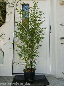Phyllostachys Nigra Schwarzer Bambus Ebay