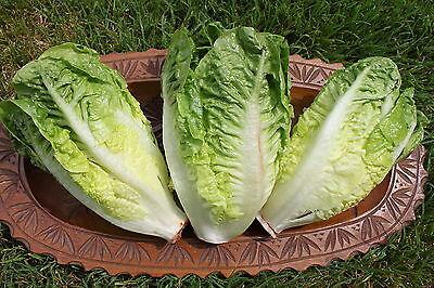 200+ Samen Mini-Salat Little Gem Romana-Salat