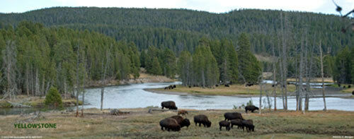 Yellowstone National Park Buffalo By The Snake River Wyoming  Panorama Poster