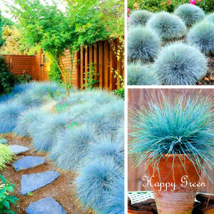 BLUE-FESCUE-Festuca-Glauca-300-seeds-ORNAMENTAL-GRASS
