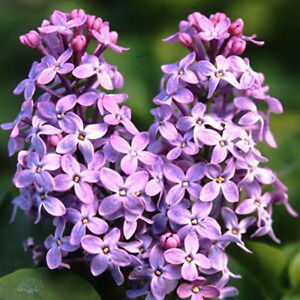 100 seeds of LILAC Syringa French Vulgaris Flower Shrub Bush