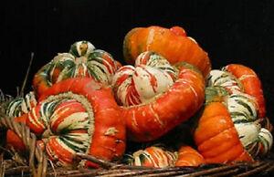 25-Gourd-Turks-Turban-Gourd-Seeds-Garden-Seeds