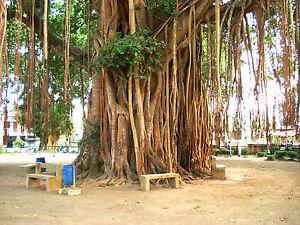 Higuera-Sagrada-FICUS-RELIGIOSA-25-Semillas-Tree-Samen-Semi