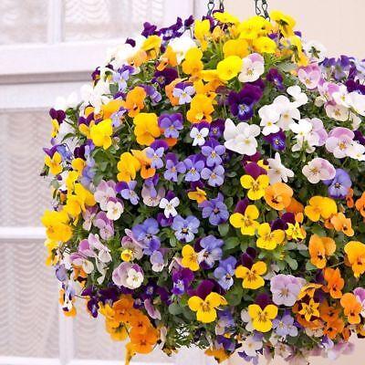 100 Seeds Sweet-Tempered Viola Cornuta Mix Ideal For Hanging Baskets Biennial Flower