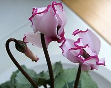 5 pcs New Light Pink Plicated Cyclamen with Red Edge Flower Seeds