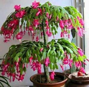 2-pink-Christmas-Zygo-Cactus-Schlumbergera-epiphyllum-rooted-starter-plant