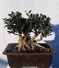 Shohin European Olive 'Skylark' Dwarf Bonsai Tree