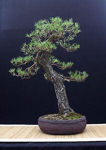 Scots Pine Pino Silvestre 10 250 Seeds Bonsai Seeds Ebay