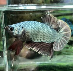Betta Fish Giant Red Copper (read Terms Before Buy)