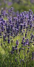 "Infrarotheizung Elegance - Glas rahmenlos, 700 Watt, Motiv ""Lavendel II"""