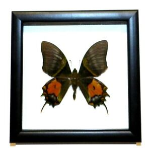 Teinopalpus-imperialis-Form-mortus-Butterfly-in-the-frame-Very-rare