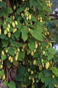Humulus-lupulus-CASCADE-HOPS-Vine-Seeds