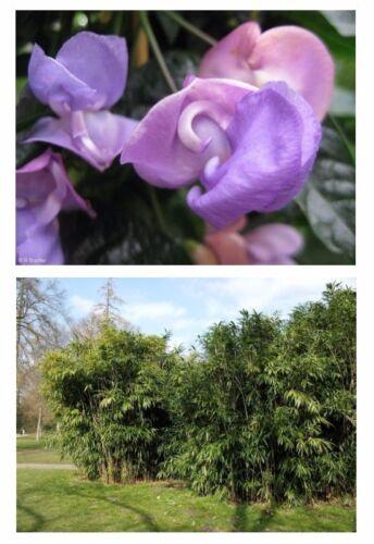 Der Riesen-Bambus und die Schneckenbohne verschönern Ihren Garten !