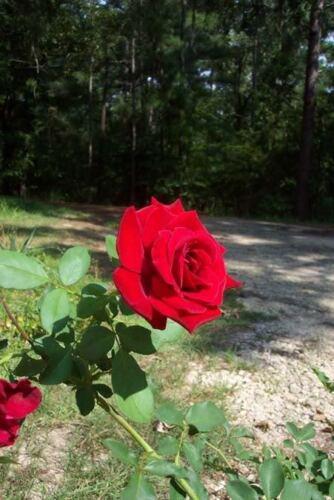 Don Juan Climbing RED Rose 1 Gal Upright Plant Disease Resistant Fragrant Roses