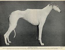 GREYHOUND OLD ORIGINAL PRINT NAMED CRUFTS DOG SHOW WINNER IN 1934