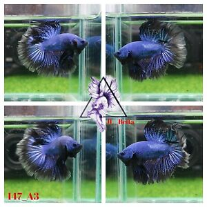 [147_A3]Live Betta Fish High Quality Male Fancy Over Halfmoon 📸Video Included📸
