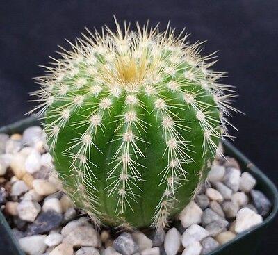 Notocactus Warasii  Cactus Cacti Succulent Real Live Plant
