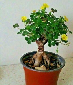 Oxalis-Megalorrhiza-Very-rare-caudex-live-succulent-plant