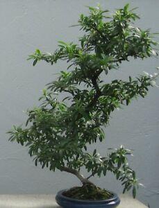 Bonsai-Samen-i-FEUERDORN-i-Zimmerpflanze-Wintergarten-Exot-Saemereien-Saatgut