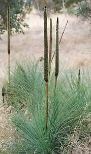 Coastal-Grass-Tree-Seed-Xanthorrhoea-fulva-Drought-Hardy-Evergreen
