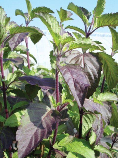 Holy Basil Tulsi Seeds Tulasi Seeds Ocimum Tenuiflorum Healing Basil