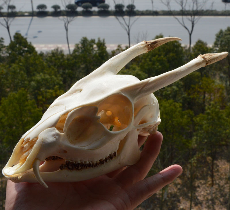 Muntjac Buck Cráneo (gótico-pagen-Wicca) Taxidermia XL Jizi 0