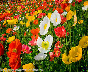 Shirley Poppy Mix English Poppy 23 000 Seeds Papaver Rhoeas