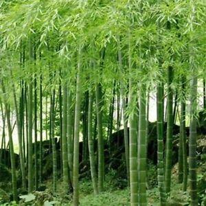 China-Riesenbambus-Samen-100-Stueck-Moso-Bambus-Winterfest-Sichtschutz