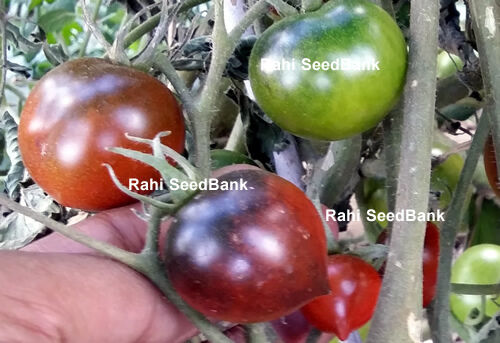 Beautiful Coloured Tomato! Blue Chocolate Cherry Tomato A High-yielding Rare