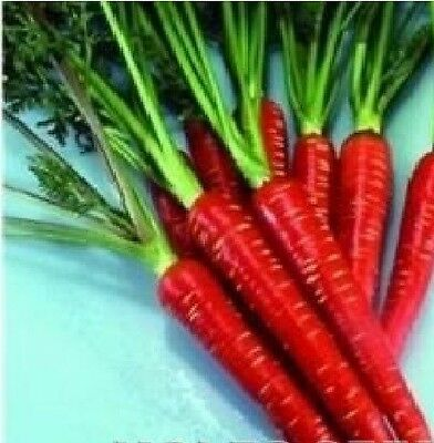 Vegetable - Carrot - Red Samurai F1 - 2500 Seeds - Large