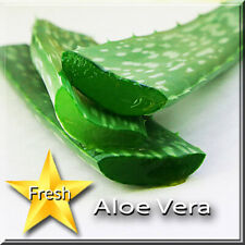 Aloe Vera Barbadensis Succulent Fresh Leaf Cutting Organic Natural Medicinal~Q13