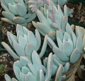 PACHYVERIA-EXOTICA-Colourful-Blue-Succulent