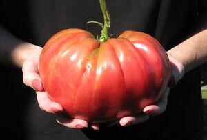 TOMATO-039-Brandywine-039-30-seeds-vegetable-garden-GIANT-FRUITS-heirloom-heritage