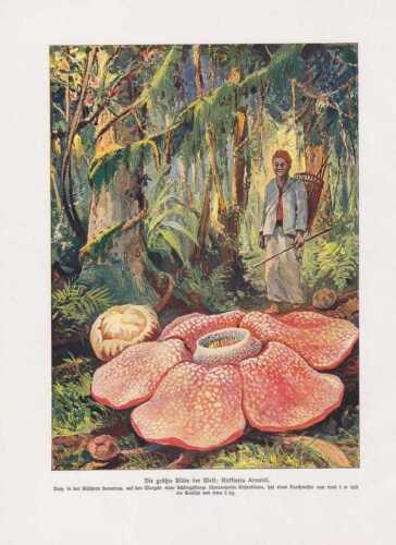 Riesenrafflesie Rafflesia arnoldii FARBDRUCK von 1912 Rafflesien Botanik