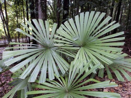 Licuala Spinosa-mangrovie raggi Palma 5 semi-Palme semi