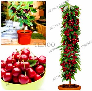 20 Pcs Seeds Mini Cherry Tree Plants Bonsai Dwarf Fruit Garden Free Shipping New Ebay