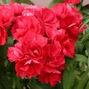 Phlox-Seeds-Promise-Scarlet-50-Double-Flower-Phlox-flower-seeds-Phlox-drummon