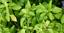 Ocimum sanctum 200Holy basil seed - Thai herb cooking,
